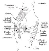 Knee Bony Anatomy Understand Knee Joint Anatomy