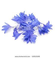 corn flower blue cornflower blue stock images royalty free images vectors