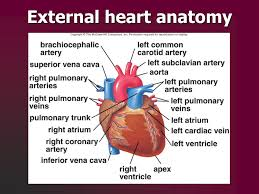 Heart Anatomy Arteries Cardiovascular System Ppt Download