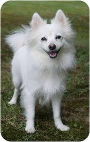 american eskimo dog price in india ava adopted dog westfield ny pomeranian american eskimo dog mix