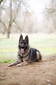 belgian shepherd kijiji protection dogs for sale security you can trust worldwide