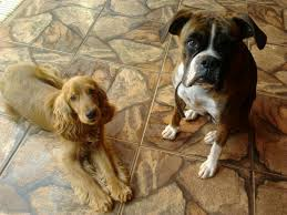 boxer dog origin dago y selena cocker spaniel y boxer animales pinterest