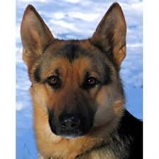 vom wunderhund german shepherd dog breeder in georgetown connecticut