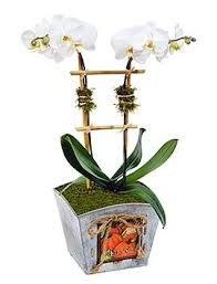 Orchid Delivery Orchid Plant Delivery Nyc Plantshed Com
