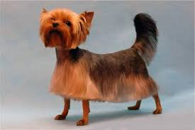 haircuts for yorkies with thin hair top 105 latest yorkie haircuts pictures yorkshire terrier haircuts