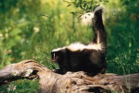 comprehensive overview of the skunk
