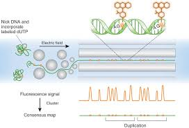 dna mapping channeling dna for optical mapping nature biotechnology nature