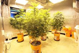 hemp crops may be grown by navajo nation native americans new mexico nm medical marijuana grow consultations consultant