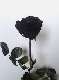 Black Rose Flower Black Rose Google Search On We Heart It