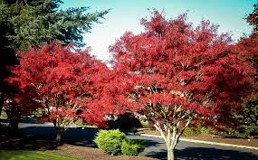 weeping japanese maple tree ribbon leaf japanese maple the tree