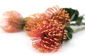 Pin Cushion Tree Orange Pin Cushion Protea U2013 Field Of Flowers Wholesale
