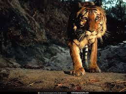 tiger hd wallpaper 0425