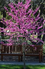 tree with purple flowers best 25 purple flowering tree ideas on purple