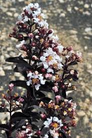 Black Diamond Landscaping by Black Diamond Pure White Crape Myrtle Flowering Trees