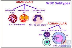 Structural Features Of White Blood Cells What Is The Difference Between Monocytes Neutrophils Eosinophils