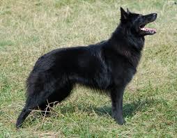belgian sheepdog groenendael belgian shepherd groenendael black dogs wallpapers 2260x1764