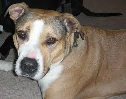 american pit bull terrier vs american staffordshire terrier is the pitbull a dog breed thatmutt com a dog blog