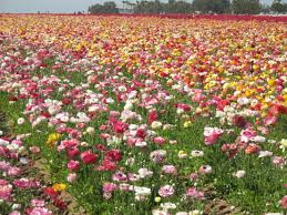 carlsbad flower garden the flower fields are ablaze with the beauty of color u2013 carlsbad