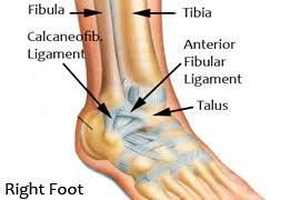 Talus Ligaments Lake Washington Physical Therapy Foot And Ankle