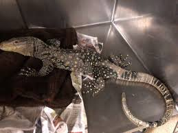 massive lizard from new guinea found in california backyard sfgate