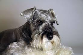 mini schnauzer haircut styles 10 gentlemanly facts about the miniature schnauzer mental floss