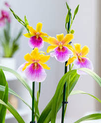 buy an orchid buy house plants now pansy orchid sunset bakker