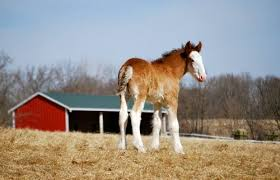Budweiser Clydesdale Barn Up Close To The Baby Clydesdales At Warm Springs Ranch Home And