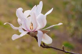 magnolia flowers magnolia flower meaning flower meaning
