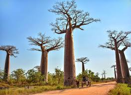 baobab trees in madagascar most interesting trees in the world