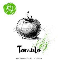 fresh tomato hand drawn sketch style stock vector 671620456