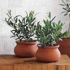 mini european olive trees the green