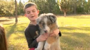 australian shepherd yellow dogs101 australian shepherd segment on vimeo