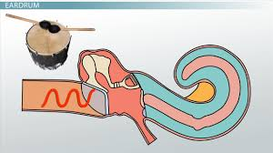 the ear middle structures and hearing functions video u0026 lesson
