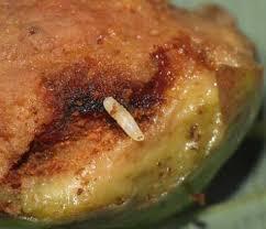 asticot blanc dans la cuisine insectes15 02