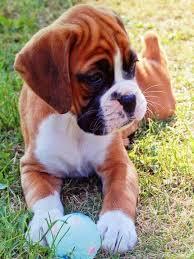 imagenes de animales y cosas pin de lorraine thibodeau sewell en favorite dog breed pinterest