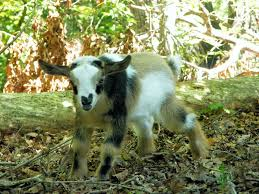 155 best raising goats images on pinterest raising goats farm