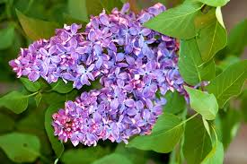 lilac flowers lilac bushes growing tips for a fragrant shrub