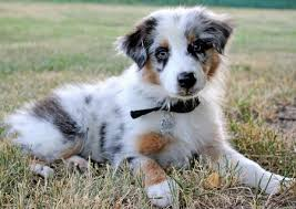 australian shepherd indiana my kingdom come sign ups semi adv advanced