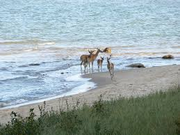 good hart deer in lake michigan 1 the view from our late a u2026 flickr