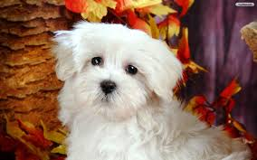 youwall cute white dog wallpaper wallpaper wallpapers free