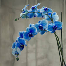 blue orchid flower special blue orchid by sacmaluk on deviantart