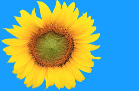free illustration sunflower handling autumn free image on