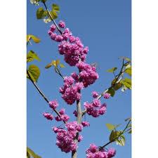 redbud native plant nursery cercis canadensis u0027pink pom poms u0027 ppaf pink pom poms eastern