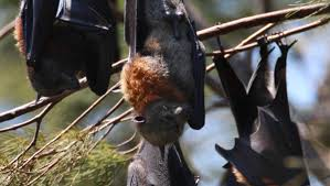 flying fox roost causing a stink in figtree illawarra mercury