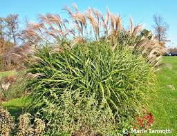 blue fescue grass plant description growing tips