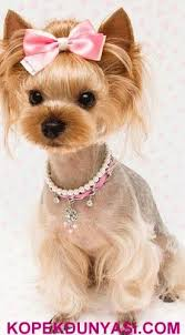 yorkie hair cut chart 41 best dog hairstyles images on pinterest doggies puppys and