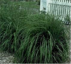 purple moor grass buy it now