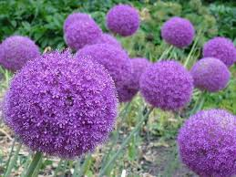 Types Of Garden Flowers - purple fall flowers in garden u2013 home landscaping