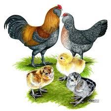 buy easter egger chickens where to buy easter egger chickens bantam chickens farming and
