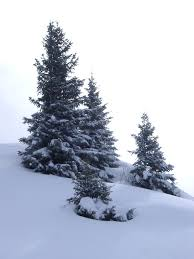 free stock photo of fir trees on snow photoeverywhere
